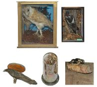 Taxidermy: A collection of Vict. and later cased and uncased specimens