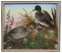 Taxidermy: Two Victorian ducks