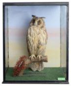 Taxidermy: An early 20th century long-eared owl