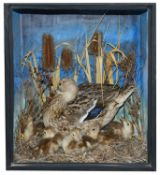 Taxidermy: A Victorian common mallard on the nest with ducklings