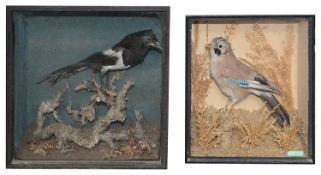 Taxidermy: A Victorian cased magpie and a jay