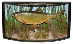 Taxidermy: A Victorian chub in the style of John Cooper