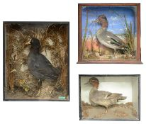 Taxidermy: a coot in a naturalistic setting; two teal