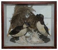 Taxidermy: A Victorian Razobill and and another seabird