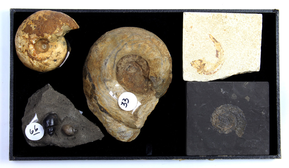 Lot 4666 - (lot of 4) Ammonite fossil group