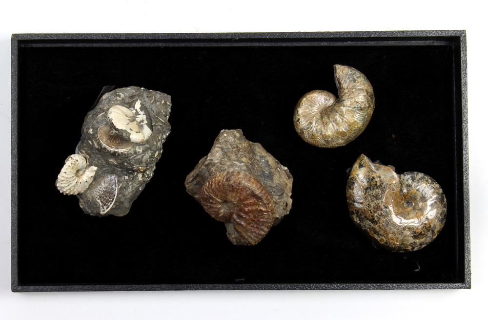 Lot 4664 - (lot of 4) Ammonite fossil group