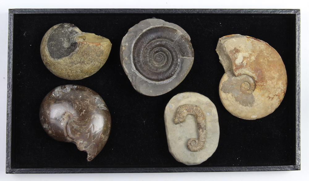 Lot 4663 - (lot of 5) Ammonite fossil group