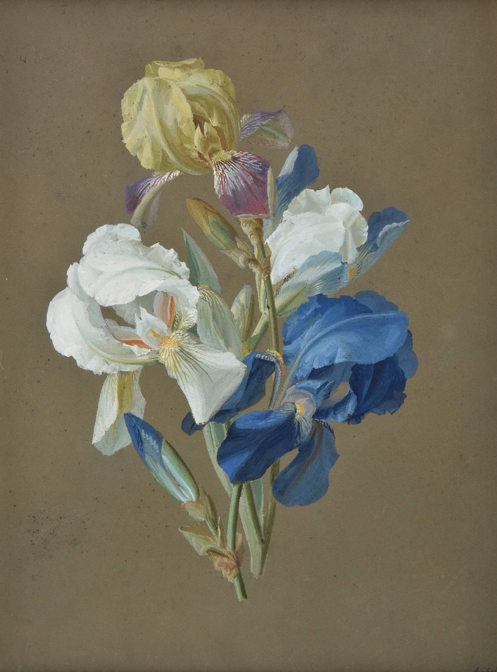 Lot 26 - *Arnhold (Johann Samuel, 1766-1828). Study of Iris, gouache on grey-brown paper, signed lower right,