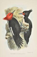 Lot 56 - Crawshay (Richard). The Birds of Tierra del Fuego, 1st edition, Bernard Quaritch, 1907, half-