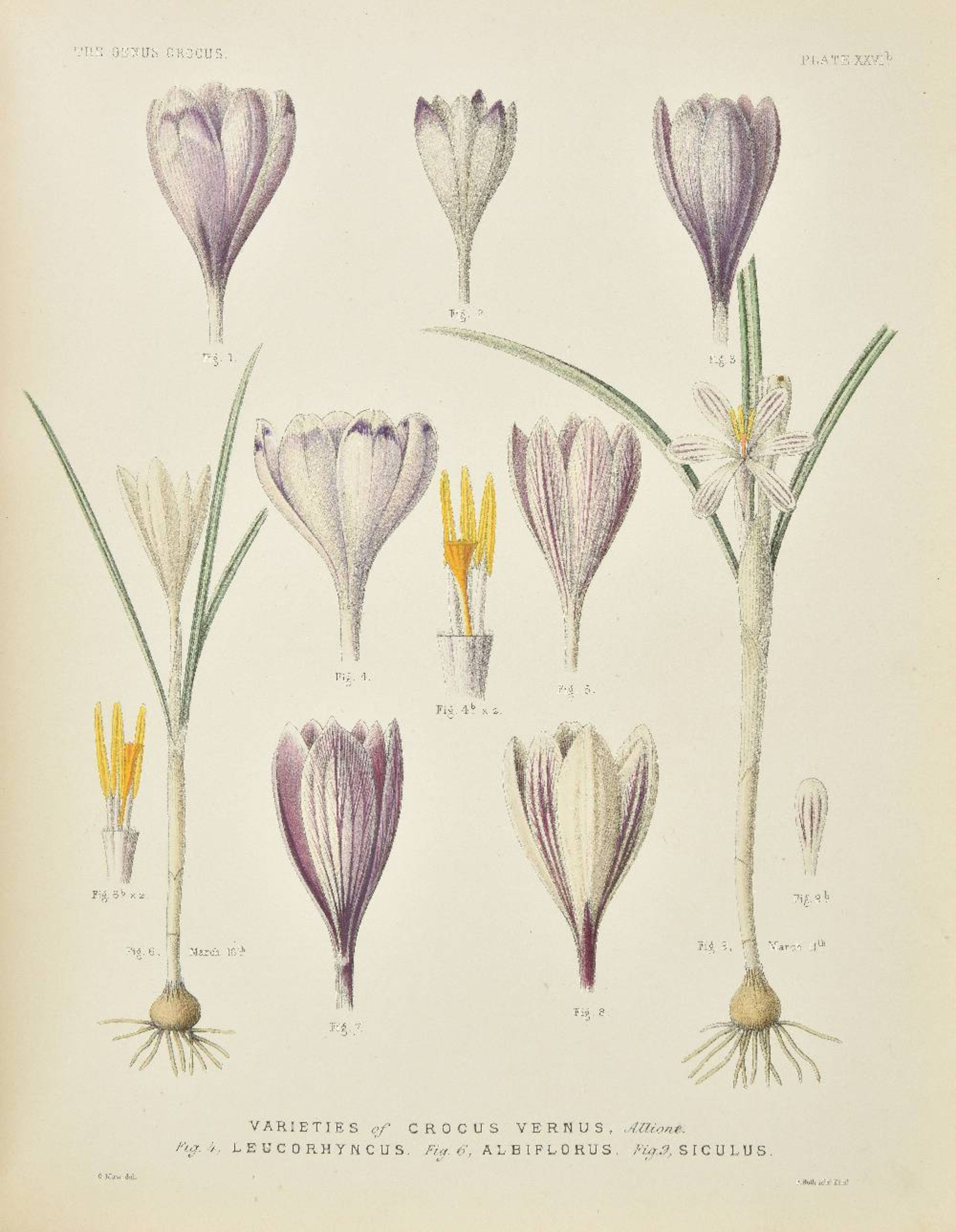 Lot 35 - Maw (George). A Monograph of the Genus Crocus, 1886, half-title, double-page coloured map, eighty-