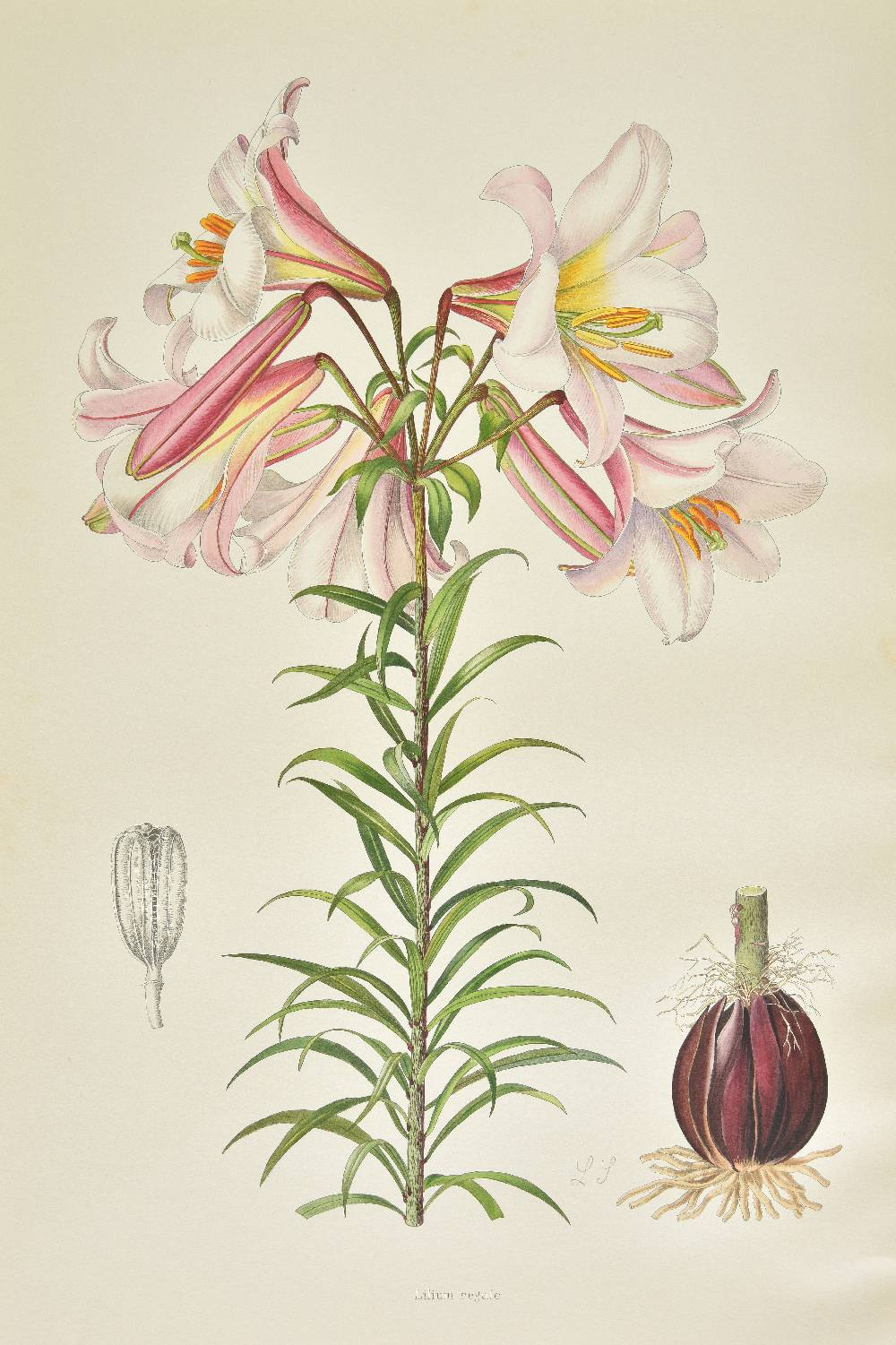 Lot 29 - [Elwes, Henry John]. A Supplement to Elwes' Monograph of the Genus Lilium, by A. Grove (& others),