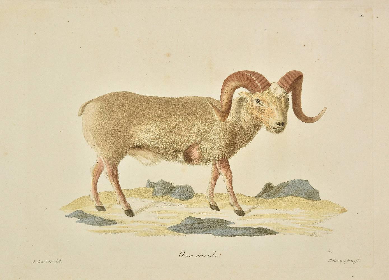 Lot 30 - Eschscholtz (Johann Friedrich von). Zoologischer Atlas, enhaltend Abbildungen und Beschreibungen