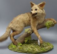 A taxidermic fox height 40cm