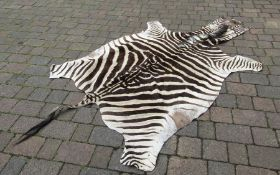Large Zebra skin rug (length from nose to end of tail 280cm) patches indicating repairs to reverse