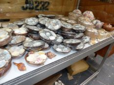 A LARGE COLLECTION OF SEA SHELLS.