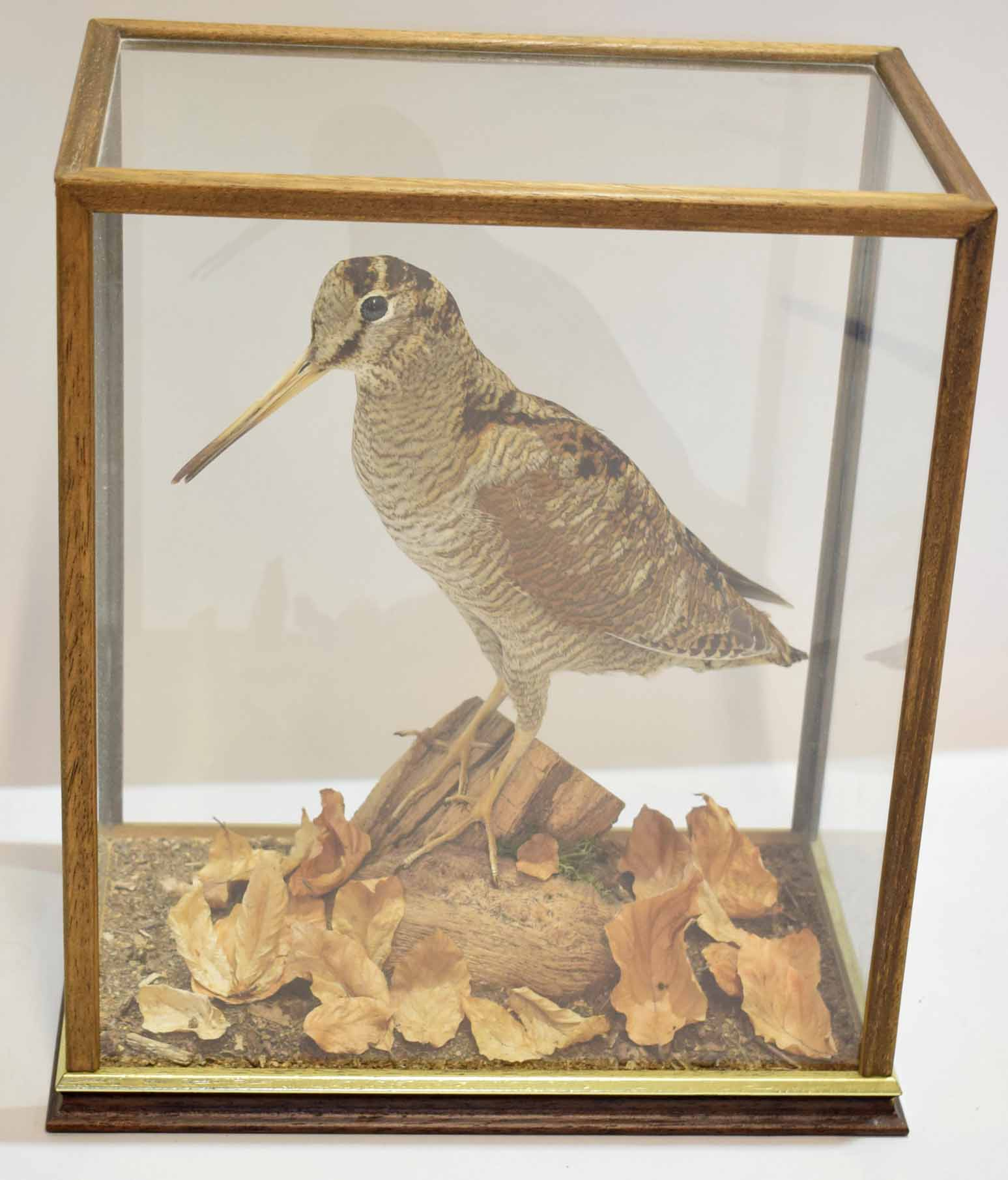 Lot 483 - Taxidermy woodcock in a glazed case, 29cm wide