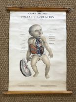 Lot 30 - A 1947 anatomical wall chart by Adam Rouilly & Co entitled Chart No. 601F Foetal Circulation