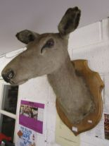 Lot 276 - Taxidermy mounted doe