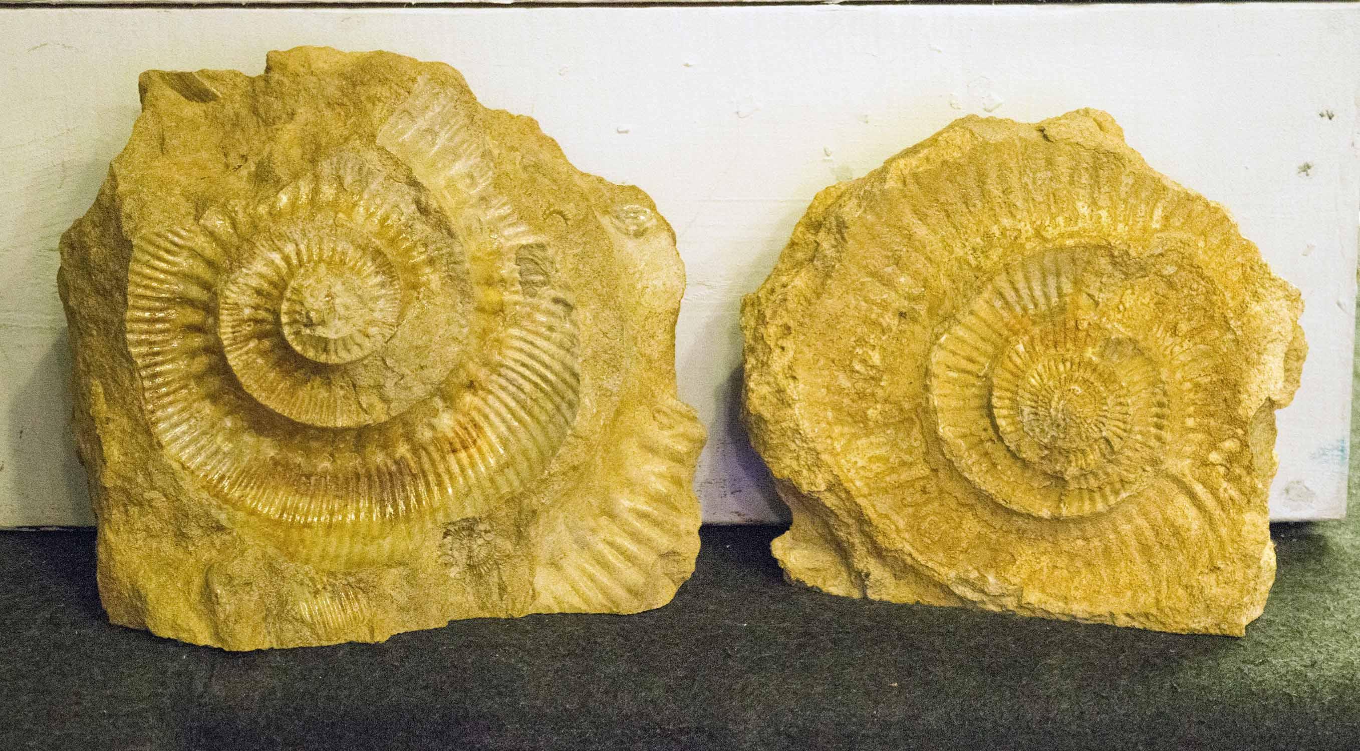 Lot 5 - AMMONITES STEPHANOCERAS HUMPHRIESIANUM, a pair, Jurassic era, Inferior Oolite, circa 170 million,