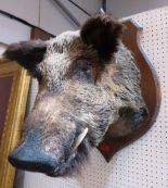 Lot 166 - Vintage Taxidermy. A mounted boar's head, the shield plaque 27' high