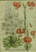 A framed glazed set of six botanical studies 20th Century in the 18th Century manner,