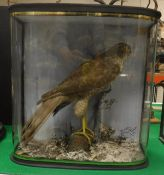 A taxidermy stuffed and mounted Sparrowhawk in naturalistic setting perched upon a rock within a