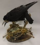 A taxidermy stuffed and mounted Carrion Crow with nest of three eggs (chicken eggs painted)