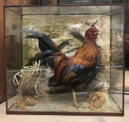 A taxidermy stuffed and mounted Bantam Hen in naturalistic setting and four-sided glazed display