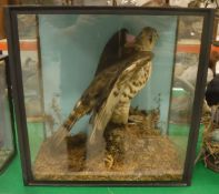 A taxidermy stuffed and mounted Honey Buzzard in naturalistic setting upon a moss-covered rock,