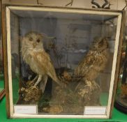 A taxidermy stuffed and mounted Barn Owl and Long-Eared Owl in naturalistic setting and three-sided