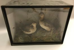 A taxidermy stuffed and mounted pair of Little Grebe in naturalistic setting, sat upon a mossy rock,