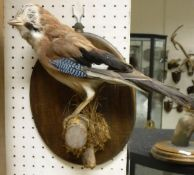 A taxidermy stuffed and mounted Jay on wall mounted moss covered wood branch perch, bearing DOE No.