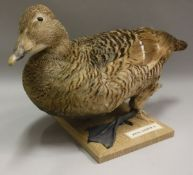 A taxidermy stuffed and mounted Common Eider Duck on plain oak base