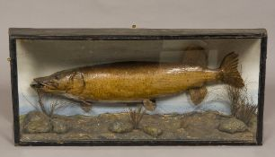 A taxidermy specimen of a preserved pike (esox lucius) Caught by H W Farrow in 5th Holland Drain,