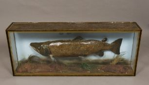 A taxidermy group of a preserved salmon (salmo salar) In glazed case. 132 cm wide overall.