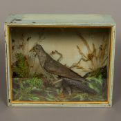 An early 20th century preserved taxidermy specimen of a male Cuckoo (Cuculus canorus) In a