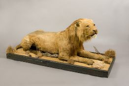 A rare example of a Victorian preserved taxidermy specimen of a Barbary Lion (Panthera leo leo) On