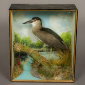 A preserved taxidermy specimen of a Night Heron (Nycticorax nycticorax) In naturalistic setting in