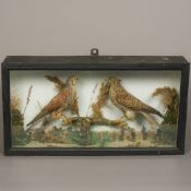 An early 20th century preserved taxidermy specimen of a pair of Kestrels (Falco tinnunculus) Male