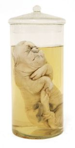 Lot 355 - A PICKLED FREAK PIGLET,mid-20th century, a birth deformed piglet pickled in liquid preservative in a