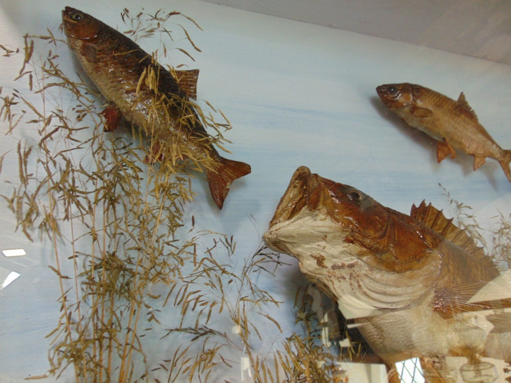 Lot 842 - Taxidermy interest - A cabinet containing three perch chasing two small roach with naturalistic
