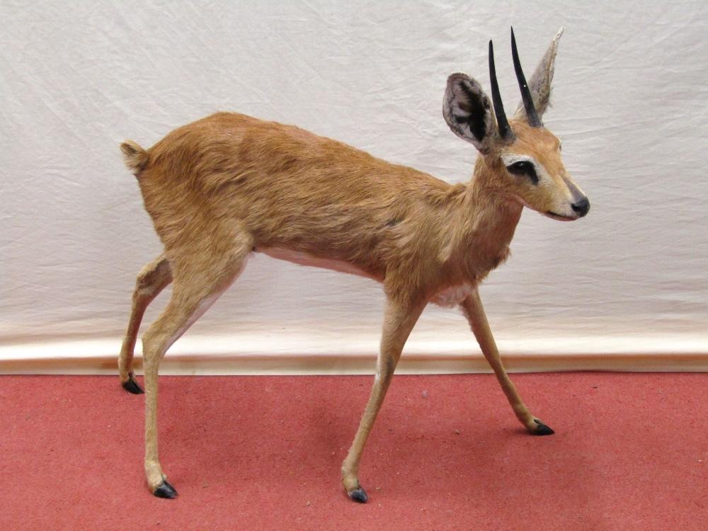 Lot 1559 - Taxidermy Interest - A juvenile Oryx