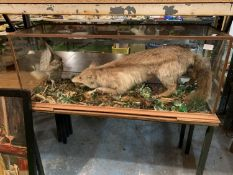 A CASED TAXIDERMY FOX AND CHICKEN