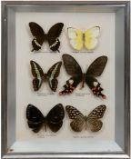 6 Schmetterlinge im Schaukasten, mit lateinischer Bezeichnung, 29,5x23 cm
