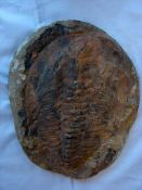Versteinerung, oval, ca. 25 x 20 cm