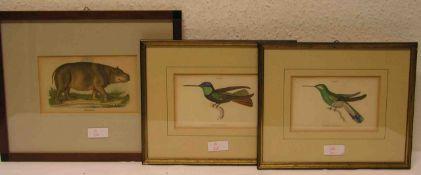 Drei kolorierte Federlithografien. Dabei: Zwei Kolibris und ein Flusspferd. 9,5 x 15 und10 x 17cm.