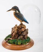 A taxidermy Kingfisher,