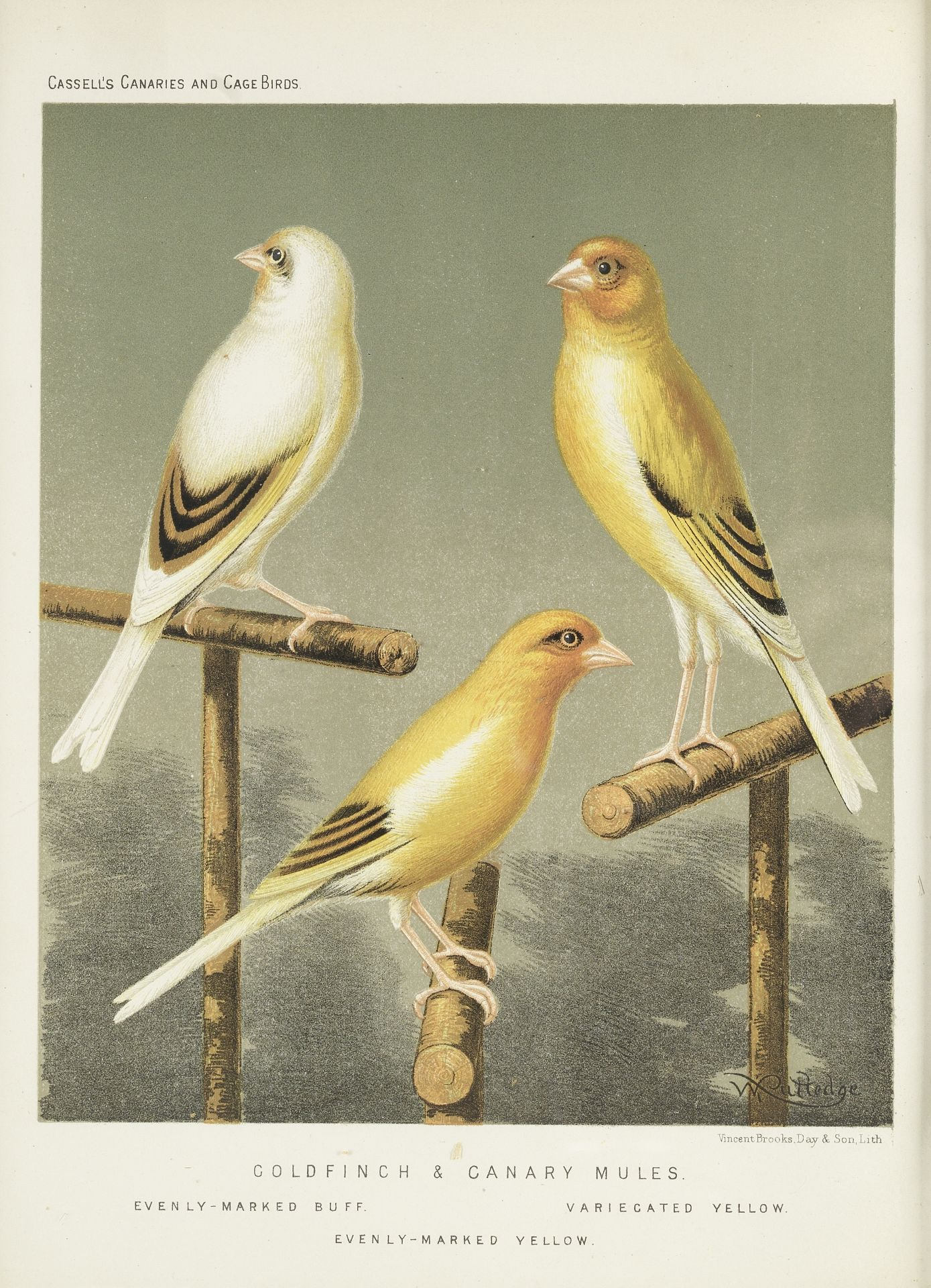 Los 189 - A set of twelve 19th century coloured prints of caged birds and canaries (12)