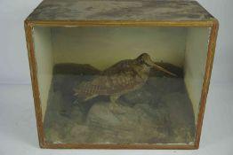 Taxidermy Snipe (Gallinago gallinago) circa 19th century, Approximately 20cm high, Enclosed in a