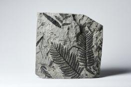 Naturalia Fossilized fern leaves Austria, Karnische Alpen, Miocene.